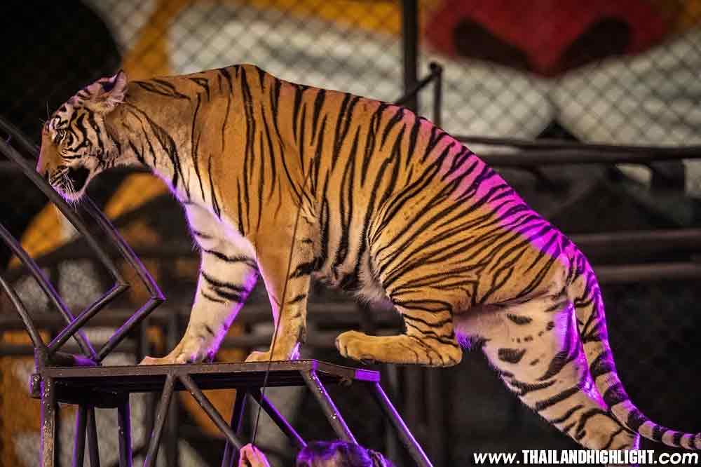 Sriracha Tiger Zoo Tour Pattaya