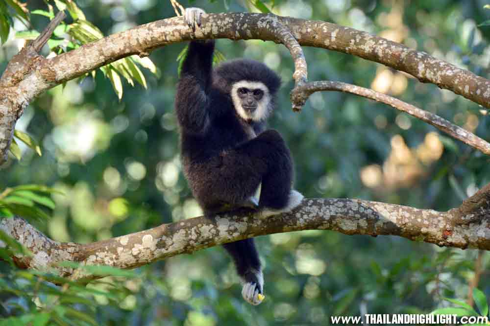 Flight of the Gibbon Chonburi from Bangkok
