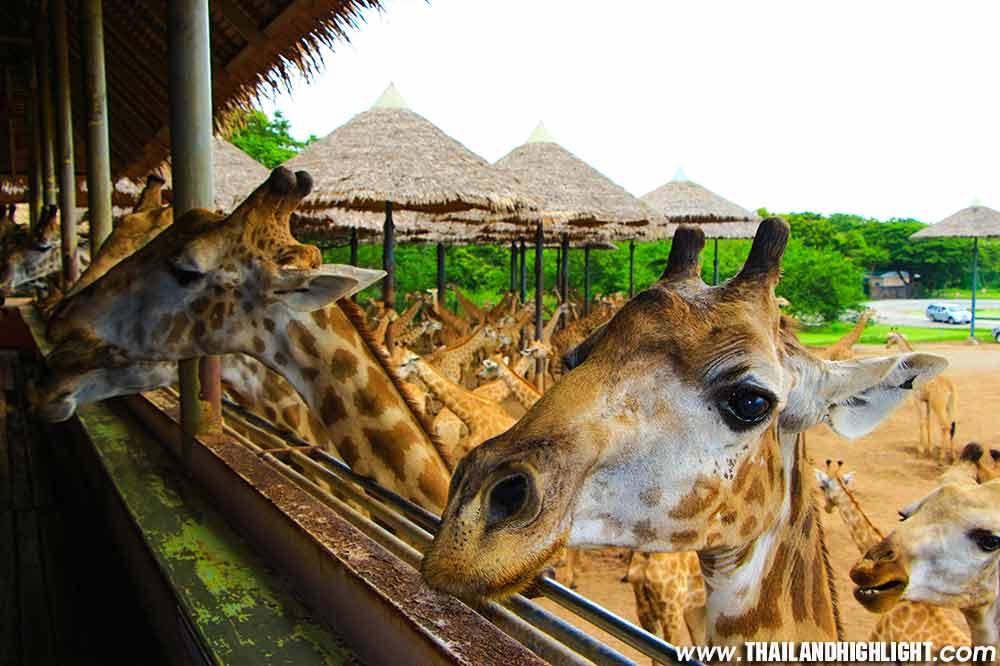 Experience full day tour in Bangkok to Safari World Bangkok Tickets Price Discount Booking.Enjoy to shows at Marine Park, watch animals open zoo Safari park